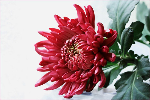 菊(Chrysanthemum) by T.takako