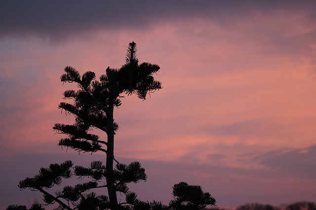 Sunrise Above the Fir Tree