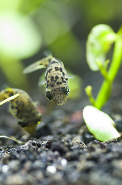 Dwarf puffer fish are the perfect choice for aquarists looking for a fascinating new addition to their tank! #aquariums