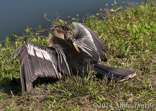 Anhinga anhinga by Alida's Photos