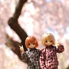 Kouta and Yuuta want to say hello while viewing the cherry blossoms for the first time in DC