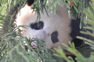Bao Bao In The Larch Tree: The Face