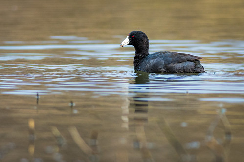 mudhen johnheinznwr wildlife americancoot nature bird heinz waterfowl coot sharonhill pennsylvania unitedstates us