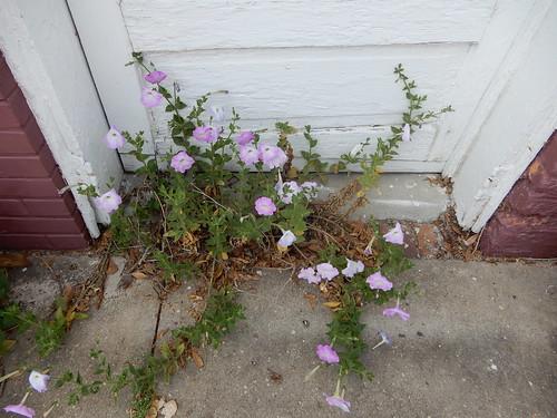 petunia flower pink sidewalk carolina sc springfield