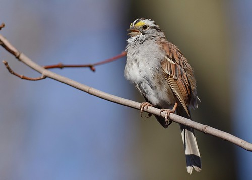 birds nikon nikond7100 tamronsp150600mmf563divc jdawildlife portrait closeup johnny sparrows sparrowwhitethroated whitethroatedsparrow centralparknycny gorgeous