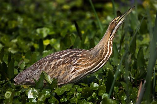 americanbittern botauruslentiginosus