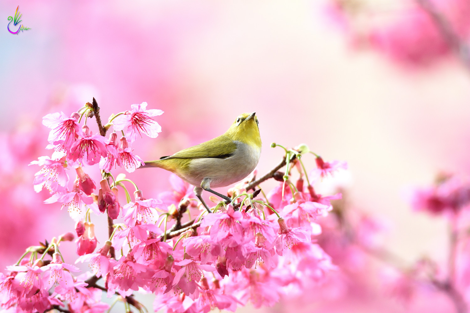 Sakura_White-eye_7876