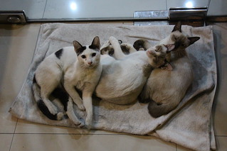 Siamese cats in Bangkok. =)