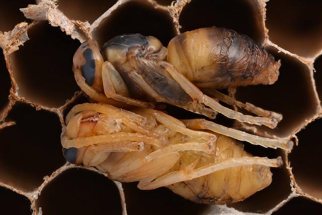 Asian hornet pupae