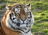 tiger at ywp