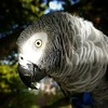 Bert in the morning sun #parrot #africangreyparrot #african_grey