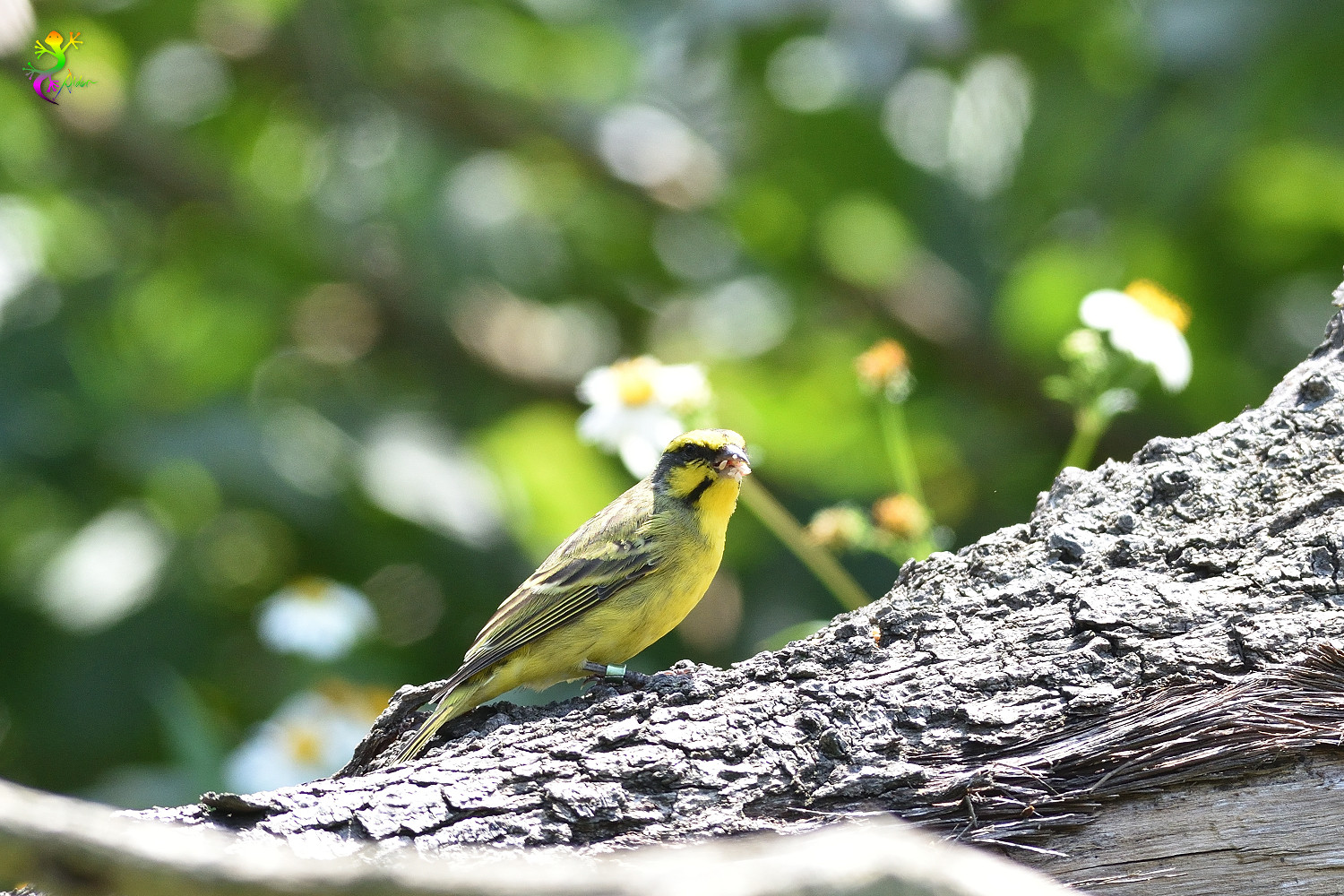 Yellow-fronted_Canary_8204