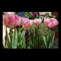 Gruppo di famiglia...  #foxtrot #tulips #tulipani #primavera #spring