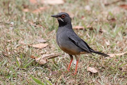 cuba birds redleggedthrush artemisia turdusplumbeus artemisa cu
