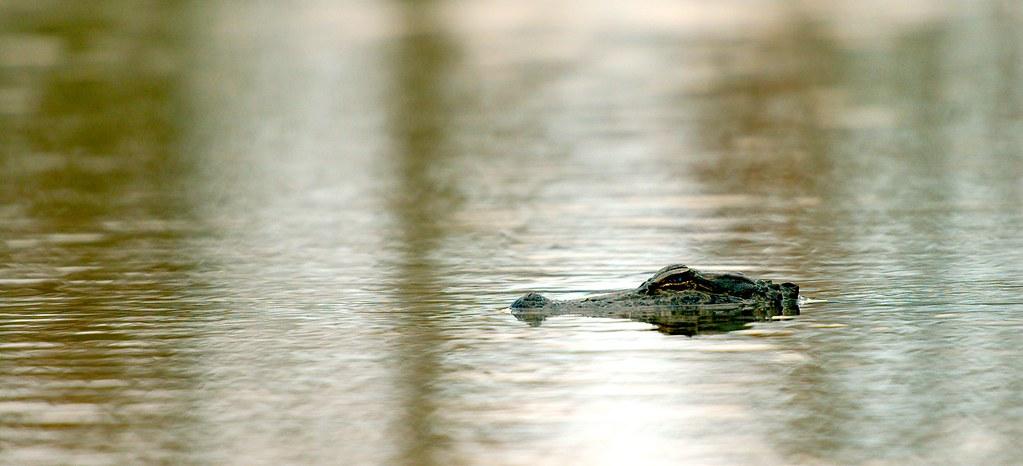 Alligator_9