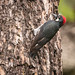 Small photo of Acorn Woodpecker (m)