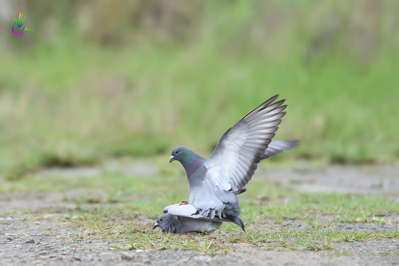 Pigeon_1902