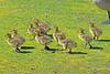 Canada Geese Goslings 17-0430-3742 by digitalmarbles