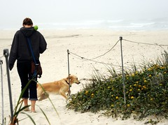 Excitement! A dog getting ready to train her friend to throw the ball, white sands, yellow flowers, dog friendly beach, Pacific Ocean, Asilomar State Beach, Pacific Grove, California, USA