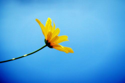 Lily pond daisy-72