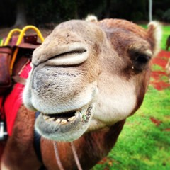 Hello Majarajah the castrated bullock camel! Lashes to die for... #Uluru