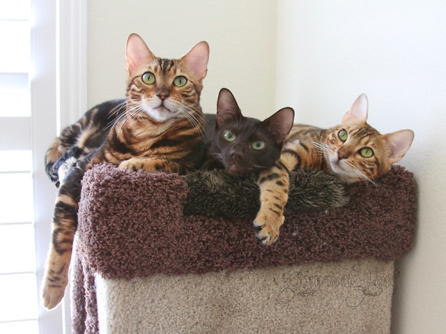 Koa, Peaches, and Ellie on the cat tree