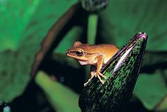 白頷樹蛙。(圖片來源:楊懿如的青蛙學堂)