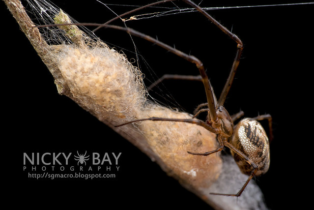 Big-Jawed Spider (Tetragnathidae) - DSC_7194