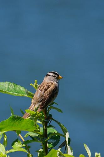 <p><i>Zonotrichia leucophrys</i>, Emberizidae<br /> Grant Narrows, Pitt Meadows, British Columbia, Canada<br /> Nikon D5100, 70-300 mm f/4.5-5.6<br /> June 30, 2013</p>