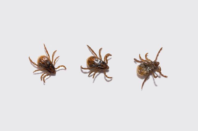 Q Fever Reptiles Tick | Flickr -...
