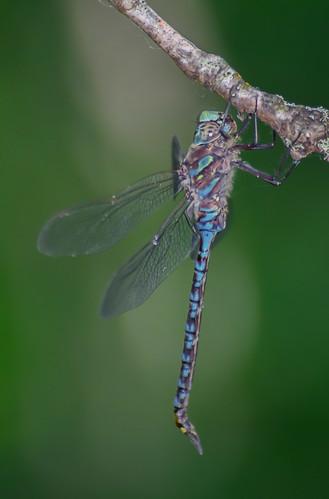 <p><i>Aeshna canadensis</i>, Aeshnidae<br /> Grant Narrows, Pitt Meadows, British Columbia, Canada<br /> Nikon D5100, 70-300 mm f/4.5-5.6<br /> July 13, 2013</p>