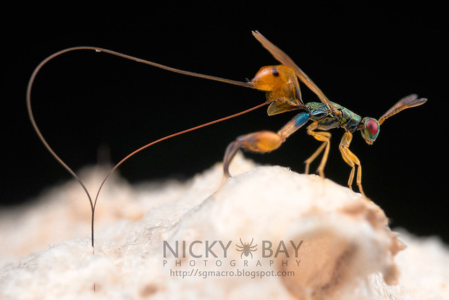 Mantis Parasitic Wasp (Podagrion sp.) - DSC_9361