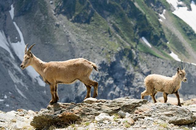Ibex above Tete Rousse