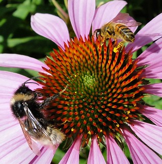 Meridian Encounter. Buff-tailed Bumblebee, Bombus terrestris, and Apis mellifera, Honeybee, on Echinacea purpurea, Purple Coneflower, Greenwich Park, Greenwich, London, England, United Kingdom