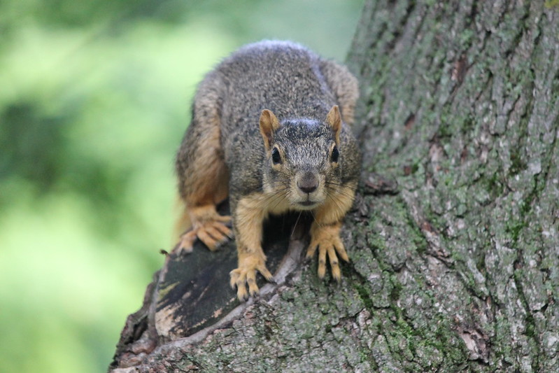 Squirrel at the University of Michigan (August 22, 2013) by cseeman