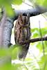 Scops Owl (Otus scops) Сплюшка by Mikhail & Yana