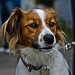 Lassie/Border Collie Cross by Dan - DB Photography