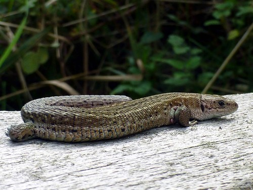 Common Lizard, Minsmere
