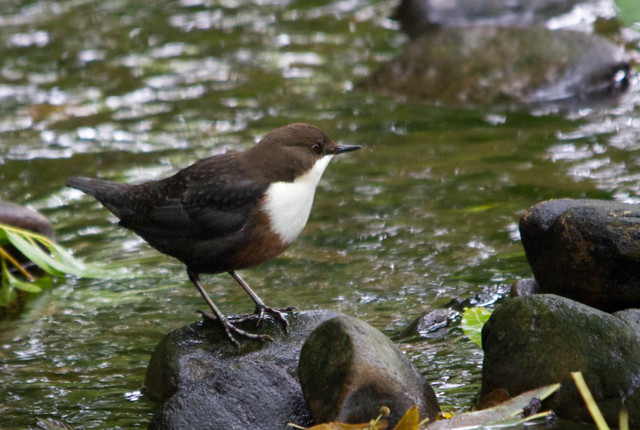 Dipper, Load Pit Beck, River Aire