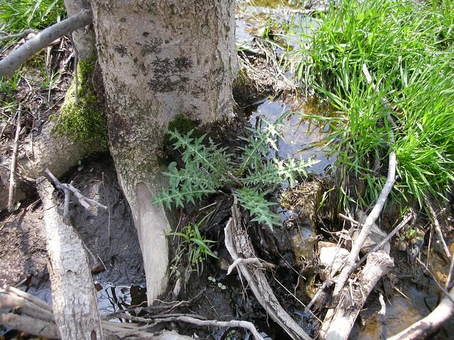 八幡湿原を代表するマアザミの葉.