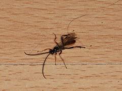 Braconid wasp indet.