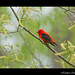 Scarlet Tanager (Piranga olivacea) by Hamilton Images