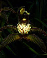 Cymbidium tracyanum 'Citron Sunray' species orchid