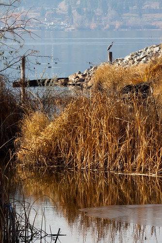 blue autumn winter brown canada cold green fall ice heron nature water birds reflections reeds landscape reflecting cool bc okanagan wildlife great lakes scenic cattails kelowna posts ponds