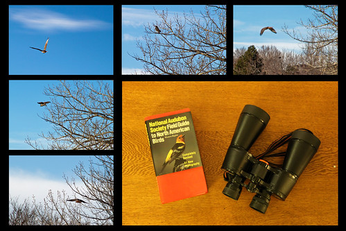 3:365:2014 Red Tail Hawk Collage
