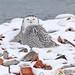 Snowy Owl lV ~ Leslie Spit by ~EvidencE~