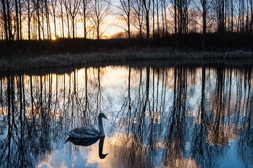 sunset sun lake reflection bird animal swan pond zonsondergang meer nederland delft explore dier zon plas vogel odc zuidholland zwaan reflectie spiegeling odc1 yourfavouritesong kerkpolder ourdailychallenge