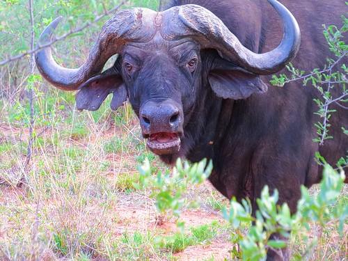 Afrikansk buffel / African Buffalo