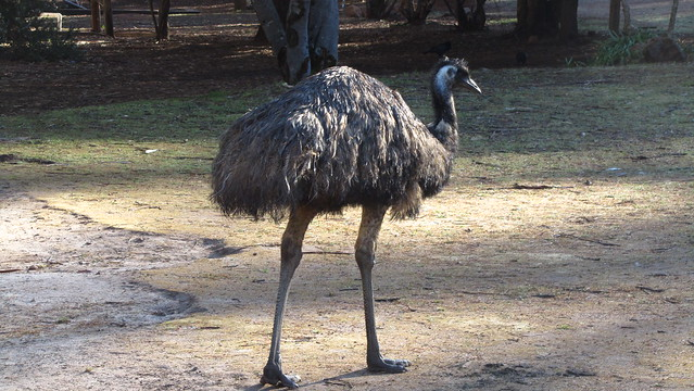 Day 27: Emu on the scrounge