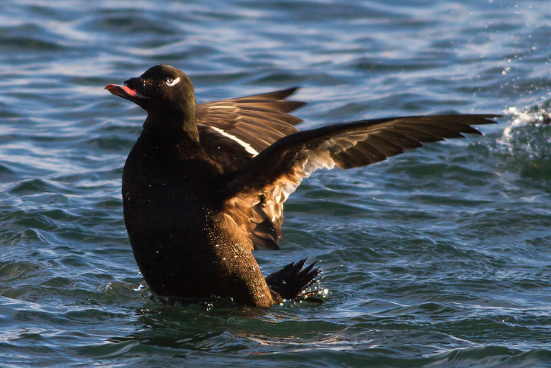Kolönd - White-winged Scoter - Melanitta deglandi